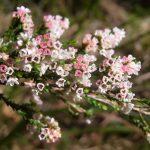 Micromyrtus ciliata - Australian Native Plant