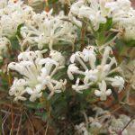Pimelea humilis - small Australian Native Plant
