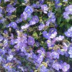Veronica Georgia Blue - Perennial Plant