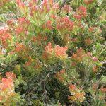 Adenanthos x cunninghamii - Hardy Australian native Plant