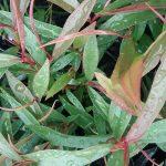 Agonis flexuosa nana - Australian Native Plant