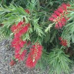 Callistemon Captain Cook - Hardy Australian Native Plant