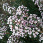 Chamelaucium Paddys Pink - Australian Native Plant