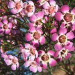 Chamelaucium uncinatum Purple Pride - Australian Native Plant