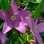Crowea Poorinda Ecstasy - Australian Native Plant