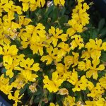 Goodenia pusila - Australian Native Plant