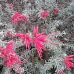 Grevillea lavadulacea - Australian native plant