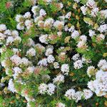Grevillea crithmifolia prostrate form - Australian Native Plant -