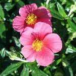 Helianthemum Ben Hope - Long Flowering Perennial Plant