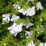 Hemiandra pungens alba - Australian native groundcover