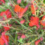 Lechenaultia Scarlet Ohara - Australian Native Plant