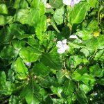 Mazus pumilio - Australian Native Bog Plant