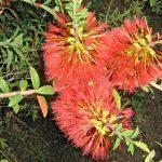 Melaleuca hypericifolia Little Gem - Hardy Australian Native Plant
