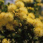 Melaleuca systena - Australian Native Plant