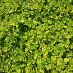 Origanum vulgare Aureum - Spreading Perennial Plant