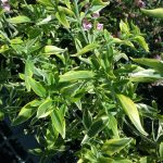 Prostanthera ovalifolia variegated - Australian native plant
