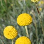 Pycnosorous globosus - Hardy Australian Native Plant