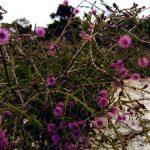 Regelia inops - Australian Native Plant
