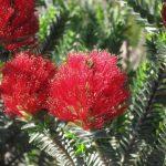 Regelia velutina - Australian Native Plant