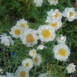 Rhodanthe anthemoides - Australian Native Plant