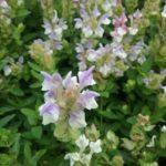 Scutellaria alpina -Unusual Perennial Plant