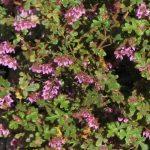 Thomasia quercifolia - Australian Native Plant
