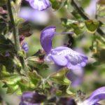 Salvia forsskaolei - Perennial Plant