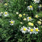 Lasiospermum bipinna - Perennial Plant