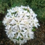 Lychnis chalcedonica white form