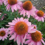 Echinacea pink - Summer Flowering Perennial Plant