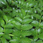 Angelica pachycarpa - Perennial Plant