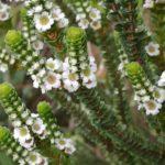 Baeckea imbricata - Australian Native Shrub