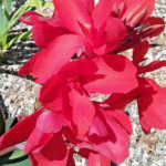 Canna lily Professor Wendt