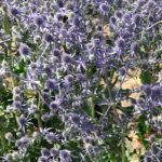 Eryngium planum - Summer Flowering Perennial Plant