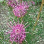 Isopogon formosus - Australian Native Plant