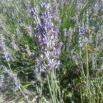 Lavender angustifolia - Hardy Perennial Plant