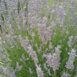 Lavender grosso - Hardy Perennial Plant