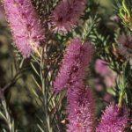 Melaleuca decussata dwarf - Australian Native Plant