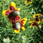 Ratibida columnifera - Perennial Plant