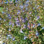 Salvia murrii - Long Flowering Prennial Plant