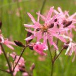 Lychnis flos-cuculi - Perennial Plant