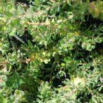 Adenanthos dobsonii - Australian Native Plant
