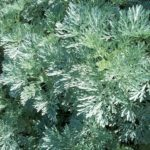 Artemisia Powis Castle - Hardy Perennial Plant