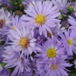 Aster Little Boy Blue - Hardy Perennial Plant