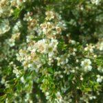 Baeckea virgata dwarf - Australian Native Shrub