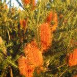 Banksia ericifolia ssp ericifolia - Hardy Australian Native Plant