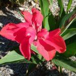 Canna Hibiscus