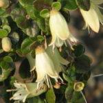 Correa reflexa var nummularifolia - Australian Native Plant
