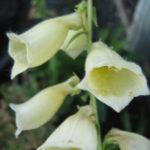 Digitalis species - Perennial Plant