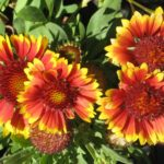 Gaillardia Arizona Sun - Long Flowering Perennial Plant